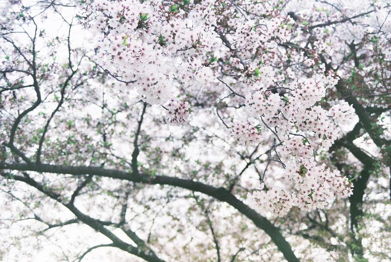 繁花落樱-菲林中文-独立胶片摄影门户!