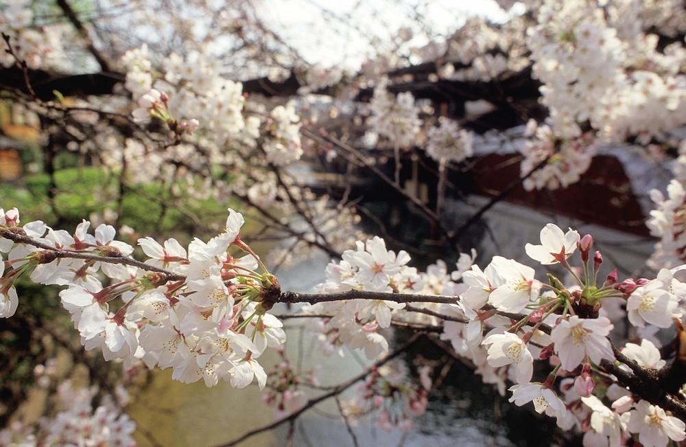 春櫻盛開 美不勝收 @獼猴桃的摄影之旅-菲林中文-独立胶片摄影门户!