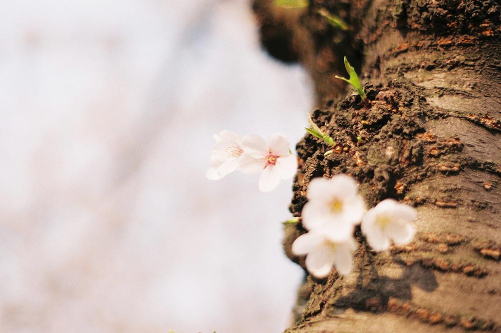 樱花想见你。@纳梨酱-菲林中文-独立胶片摄影门户!